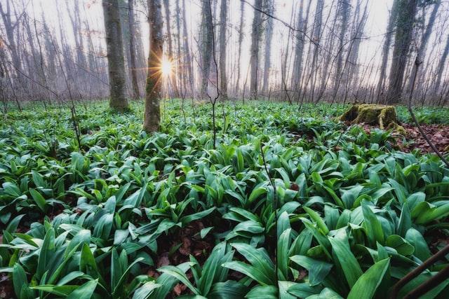 wild-garlic-woodland